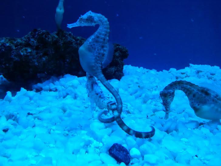 Nuovi ospiti all 39 acquario di genova ecco i cavallucci - Colorazione cavallucci marini in ...
