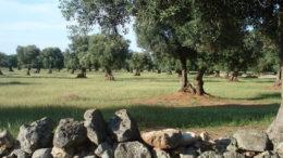 Ulivi Puglia Taranto